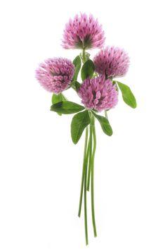 mirada - Mater NaturaMater Natura Clover Painting, Clover Field, Clover Tattoos, Clover Flower, Arte Floral, Botanical Illustration, Flower Art, Flower Power, Planting Flowers
