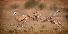 Cheetah Hunt by Wim van den Heever on 500px