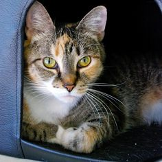Shelby is a friendly affectionate cat who enjoys attention and is fairly easygoing. Make her part of your family today, visit the BC SPCA Kamloops & District Branch