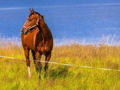 Les fonds d'écran - Un cheval alezan au pré