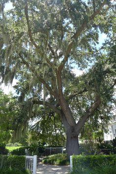 """""""Southern Live Oak"""" - Leu Gardens"""