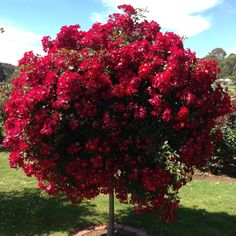 Beautiful blooms @ Werribee State Rose Garden......stunning!!!!!!