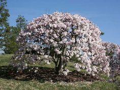 magnolia_gwiazdzista_biala_cenna_odmiana_do_kolekcji_2.jpg (800×600)