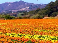 Marigold fields in Mexico.