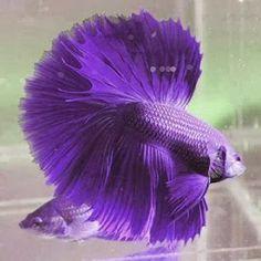 Half moon violet betta fish!