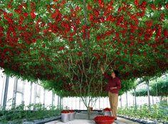 PAVAN MICKEY: Tomatoes Grow On Trees