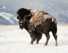 Blizzard in Wyoming    American Bison photographed by Diana Volk , Sheridan, Wyoming Bighorn Mountains