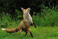 Fox Jumping by Ami 211 on Flickr.
