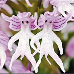 poor man's orchid - Google Search