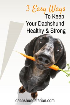 Really easy ways to keep your Dachshund Healthy: using quality dog food, follow a strict feeding schedule (see our doxie age chart and feeding recommendations), and maintaining these healthy habits will improve your dog's health!  #dachshund  #doxie