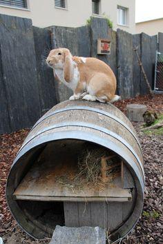 Rabbit Run, Jack Rabbit, Pet Rabbit, House Rabbit, Barn Animals, Zoo Animals, Animals And Pets, Small Animals, Flemish Giant Rabbit