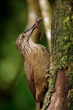 Foto arapaçu-de-garganta-branca (Xiphocolaptes albicollis) por OctavioSalles | Wiki Aves - A Enciclopédia das Aves do Brasil