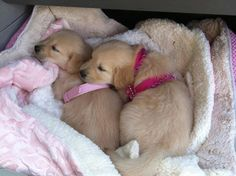 Two sweet little goldens                                                                                                                                                                                 More
