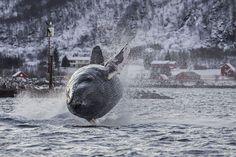 un fotógrafo noruego tuvo la suerte...