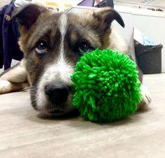 Foster dog.