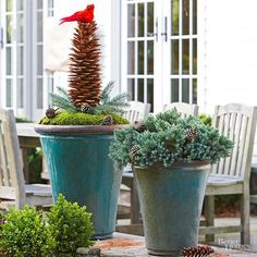 A supersize cone from a sugar pine brings star power to this container display. Set the pinecone upright amid a bed of moss and spruce sprigs dotted with small pinecones. Top the pinecone with a faux-cardinal for eye-catching impact. A potted evergreen in a complementary green, such as this compact 'Blue Star' juniper, creates a striking combination of natural elements./