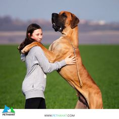 Some pooches feel the beat as strongly as humans and are compelled to dance it out. One look at the faces of these dancing dogs shows they really can't help but dance. Great Dane Dogs, Best Dogs, Great Dane Information, Dane Puppies, Training Your Dog, Training Tips, Best Dog Breeds, Dog Wear, Dog Barking