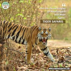 "Visit The Dense Jungles Of #Bandhavgarh And Meet #Tigers ""TIGER SAFARIS""."