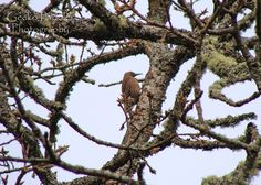 Female Red Shafted Northern Flicker seen at Witty's Lagoon.