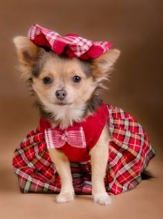 chihuahua red clothes