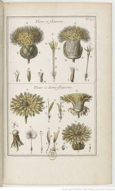 Fleur à fleurons ; fleur à demi-fleurons; Élémens de botanique, ou Méthode pour connoître les plantes, par M. Pitton Tournefort, 1694