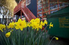 Daffodils on Granville Island Granville Island, Island Life, Daffodils, Vancouver, Culture, Entertaining, Plants, Daffodil, Plant