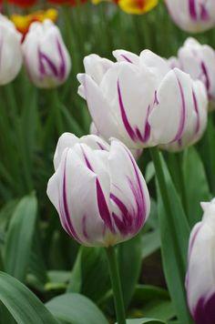 Triumph Tulip 'Flaming Flag'