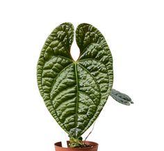 Climate Warming, Ferns Garden, Planting Flowers, Flowering Plants, Leaf Flowers, Begonia, Tropical Plants, Horticulture, Botanical Gardens