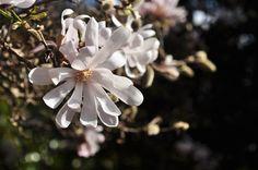 Um dos espetáculos mais espetaculares de todo o Parque é anualmente dado pela magnólia-estrelada (Magnolia stellata). Esta caducifólia originária do Japão é famosa pelo seu denso manto de flores perfumadas, e a nossa já começa a mostrar o seu esplendor.... Sabia que o género Magnolia foi baptizado em honra do botânico francês Pierre Magnol?