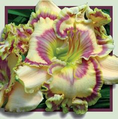 Royal Cypher Daylily - breath-takingly delicate beauty!