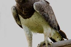Martial Eagle Bald Eagle, Martial, Wildlife, Bird, Animals, Animales, Animaux, Birds, Animal