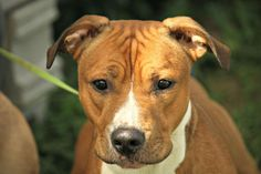 Meet Jackson, a Petfinder adoptable Pit Bull Terrier Dog | Pomeroy, OH | Hi, I'm Jackson.   I have been at the shelter for several months now, and I'm not sure why.  The...