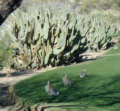 Animals of Phoenix: Rabbits