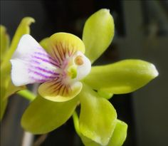 Orchid: Psychilis truncata. This unifoliate species is found in Haiti and the Dominican Republic in mangroves, scrub forests and pinelands on trees, or as a lithophyte or terrestrial on cliff walls at elevations of sea level to 1100 meters and is a small to large sized, hot to warm-growing epiphyte and occasional lithophyte,