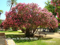 arbustosensevilla-encinarosa: Adelfa - Nerium oleander