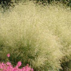 Best wel gewoon gras, Deschamsia Goldschleier is mooi met wat zon. Als ik het wel heb heet hij ook Ruwe Smele.