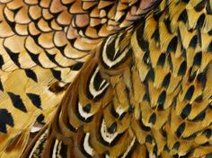 How to Preserve Pheasant Feathers