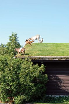 RICK WETHERBEE  What's the easiest and safest method of mowing a green roof? Let the goats graze on it!  From MOTHER EARTH NEWS magazine.