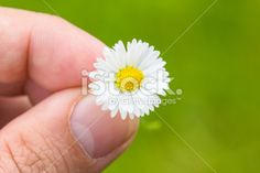 #Daisy #Between #Fingers #Macro With #Green #Background @iStock #iStock #season #spring #flowers #flowerpower #yellow #white #blossom #bloom #closeup #stock #photo #portfolio #download #hires #royaltyfree