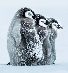 Super-cute penguin chicks huddle up to keep warm in -24°C temperatures - Mirror…