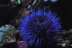 Blue Sea Urchin | Blue Sea Urchin Photograph