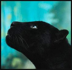 Black Panther ~ two different types of big cats are called black panthers. Jaguars and leopards both can be solid black.and both are called black panthers I Love Cats, Big Cats, Crazy Cats, Cats And Kittens, Ragdoll Kittens, Funny Kittens, Tabby Cats, Bengal Cats, White Kittens