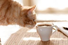Take a cat home at this feline-friendly cafe - Cat Site, Kitten Wallpaper, Outdoor Cat Enclosure, Cat Drinking, Latte Macchiato, Outdoor Cats, Red Cat, Cat Behavior, Ginger Cats