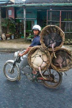 Transporting swine is also a balancing act...Hanoi