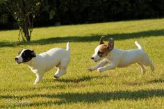 Jack Russell Terrier | Flickr - Photo Sharing!