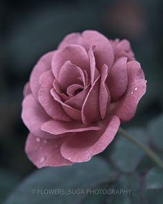 Beautiful Rose Flowers, Beautiful Flower Arrangements, Flowers Nature, Exotic Flowers, Purple Flowers, Pink Roses, Beautiful Flowers, Fire Flower, My Flower