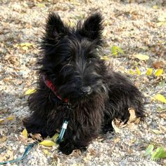 Scottish-Terrier-Puppy- I love it when they are a little shaggy! Scottish Terrier Puppy, Cairn Terrier, Terrier Dogs, Baby Dogs, Dogs And Puppies, Doggies, Retriever Puppy, Little Dogs, Beautiful Dogs