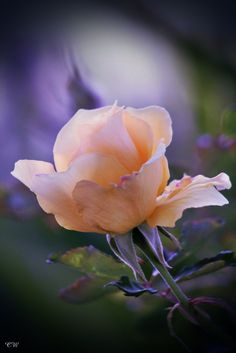 earthtreasure:  Yellow Rose