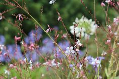 """Beeblossom, Gaura lindheimeri: """"Dancing Ballerinas"""" Thank goodness that Gaura, a once-obscure Texas roadside wildflower, was """"discovered"""" in the 1980s and"""