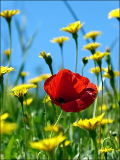 One red poppy - Image & Photo by Irbenika from Poppies - Photography (31057131) | fotocommunity
